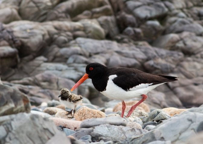 Cool critter of the month: The Eurasian oystercatcher (Haematopus ostralegus)