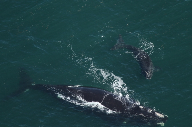 Are we really protecting North Atlantic right whales?