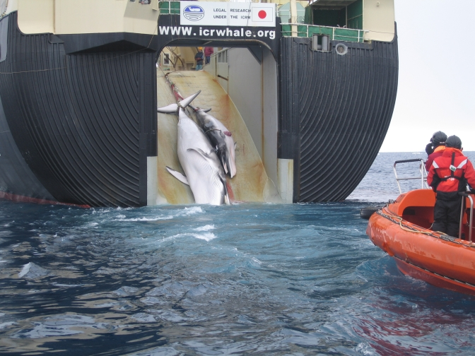 Japanese whaling in Antarctica challenged by Australia