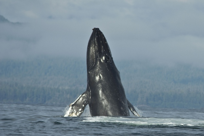 Whale population shows signs of recovery… just in time for a new port development